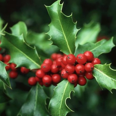 why-holly-leaves-prickly-berries_62627_600x450